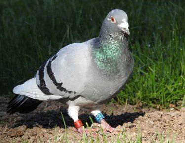鳩がスパイ容疑でインド警察に拘束される