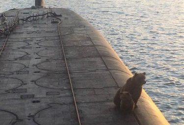 ロシアの潜水艦にヒグマの親子。来た場所が悪かった…