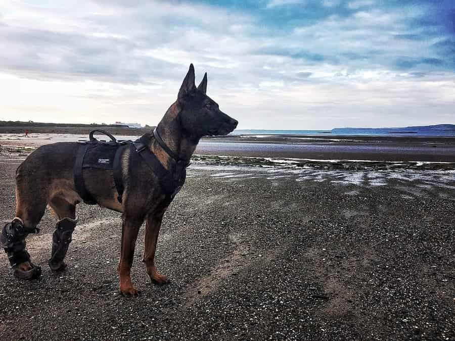 アルカイダに立ち向かい兵士の命を救った軍用犬クノは最高の栄誉を受賞しました